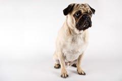 смотрящ pug серьезный Стоковые Изображения RF