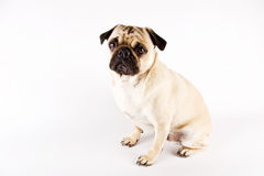 смотрящ pug унылый Стоковая Фотография RF
