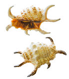 смотрящ seashell одичалый Стоковое фото RF
