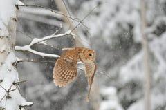 Смуглавый сыч летая Стоковое Фото