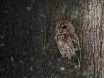 Смуглый сыч в снеге Стоковое Фото