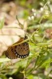 Смуглавая бабочка coster Стоковая Фотография