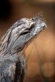Смуглавое Frogmouth Стоковое Фото