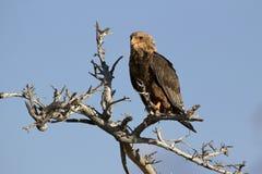 Смуглавый орел Стоковые Фотографии RF