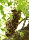 Смуглый сыч рыб садить на насест на дереве Стоковая Фотография