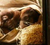 См. горилл и обезьян вверх близко Стоковое Фото