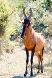 См. мою сторону - красное Harte-beest - caama buselaphus Alcelaphus Стоковая Фотография