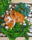 3 сна котят имбиря в саде стоковая фотография