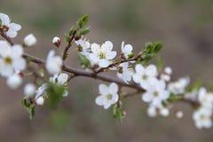 Снег-белые цветки на вишневом дереве стоковое фото
