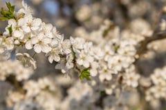 Снег-белые цветки на вишневом дереве стоковые фото
