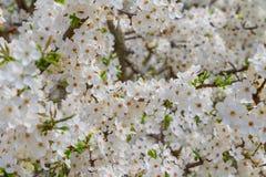 Снег-белые цветки на вишневом дереве стоковое изображение rf