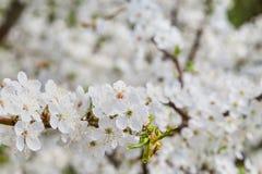 Снег-белые цветки на вишневом дереве стоковая фотография rf