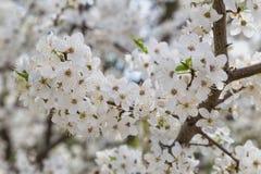 Снег-белые цветки на вишневом дереве стоковые изображения