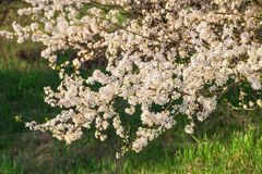 Снег-белые цветки на вишневом дереве стоковое фото rf