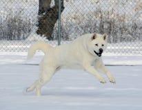 Снег белое Акита скача в снег Стоковое фото RF