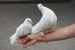 2 снег-белых голубя Стоковые Фотографии RF