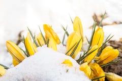 Снег весны на желтых цветках Стоковые Фото