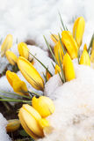 Снег весны на желтых цветках Стоковая Фотография RF