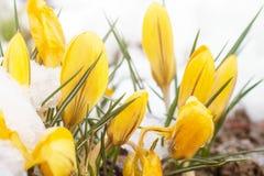 Снег весны на желтых цветках Стоковое Изображение