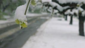 Снег, заморозок в последней весне во время цвести деревьев Ветви с зелеными листьями под снегом Анормалное естественное видеоматериал