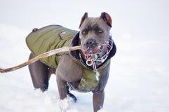Снег зимы mastiff corso тросточки стоковая фотография rf