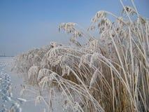 Снег и тростники зимы стоковое изображение rf