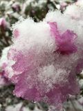 Снег крупного плана покрыл цветение азалии Стоковые Фотографии RF