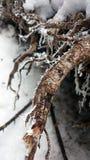 Снег на ветви Стоковое Изображение