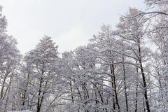 Снег на ветвях дерева Взгляд зимы деревьев покрытых с снегом Суровость ветвей под снегом Стоковая Фотография