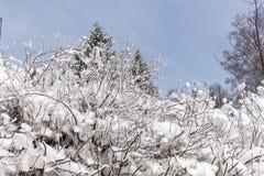 Снег на ветвях дерева Взгляд зимы деревьев покрытых с снегом Суровость ветвей под снегом Стоковое Изображение