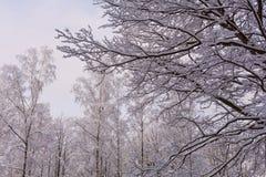 Снег на ветвях дерева Взгляд зимы деревьев покрытых с снегом Суровость ветвей под снегом Стоковое фото RF