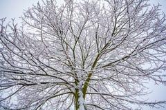 Снег на ветвях дерева Взгляд зимы деревьев покрытых с sno Стоковое Фото