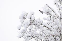 Снег на ветвях дерева Взгляд зимы деревьев покрытых с снегом Суровость ветвей под снегом Снежности в природе Стоковые Изображения