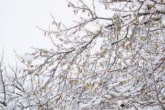 Снег на ветвях дерева Взгляд зимы деревьев покрытых с снегом Суровость ветвей под снегом Снежности в природе Стоковое Фото