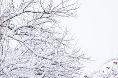 Снег на ветвях дерева Взгляд зимы деревьев покрытых с снегом Суровость ветвей под снегом Снежности в природе Стоковая Фотография RF