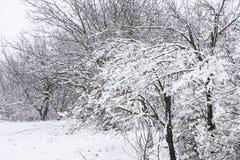 Снег на ветвях дерева Взгляд зимы деревьев покрытых с снегом Суровость ветвей под снегом Снежности в природе Стоковые Фото