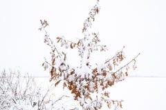 Снег на ветвях дерева Взгляд зимы деревьев покрытых с снегом Суровость ветвей под снегом Снежности в природе Стоковые Изображения RF