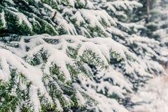 Снег на ветвях сосны в лесе Стоковые Изображения