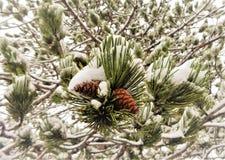 Снег на ветвях сосны Стоковые Фотографии RF