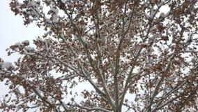 Снег на ветвях с листьями стоковое изображение