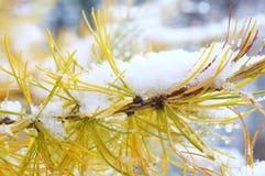 Снег на лиственнице! Стоковая Фотография RF