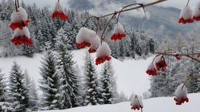 Снег на красных ягодах стоковые изображения