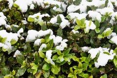 Снег на листьях завода стоковая фотография rf