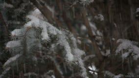 Снег падая на вечнозеленое дерево в зиме сток-видео