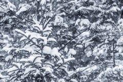 Снег покрыл ветви хвойного дерева стоковые изображения rf