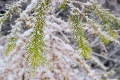 Снег покрыл ветвь рождества Beautyful ели Стоковые Фото