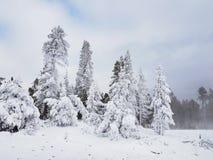 Снег покрыл вечнозеленые деревья в национальном парке Йеллоустон стоковые изображения