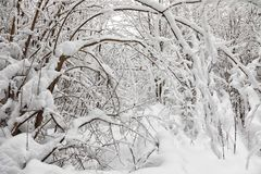 Снег покрыл деревья в лесе зимы Стоковое Фото