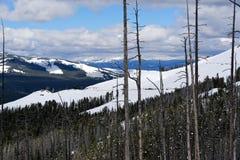 Снег покрыл деревья в национальном парке Йеллоустона стоковые изображения rf