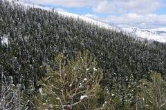 Снег покрыл деревья в национальном парке Йеллоустона стоковая фотография rf
